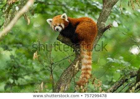 Kırmızı panda örnek kafa beyaz Stok fotoğraf © colematt