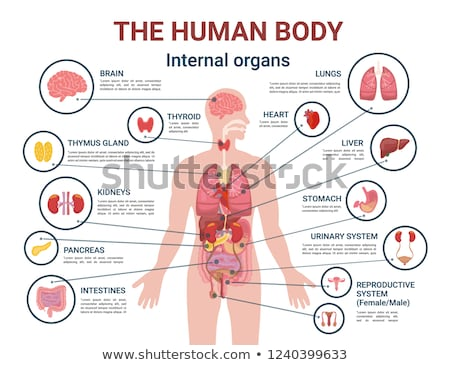 human body internal organs and parts info poster stock photo © robuart