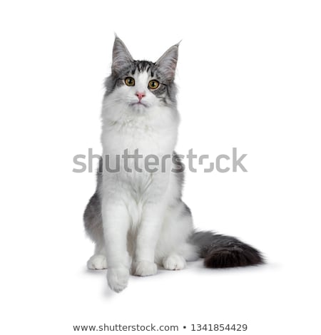 Stock photo: Cute black silver bicolor spotted tabby Norwegian Forest cat
