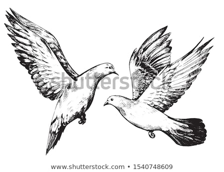 Couple Grey Flying Doves Isolated on White Vector Stock photo © robuart