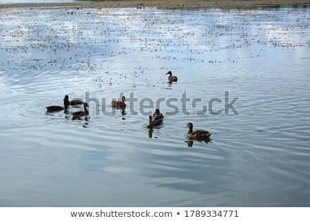 カモ · 女性 · 湖岸 · 緑 · 湖 - ストックフォト © imaagio