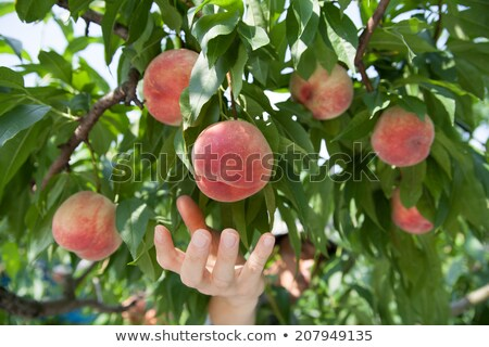 Landbouwer abrikoos vruchten boomgaard vrouwelijke Stockfoto © simazoran
