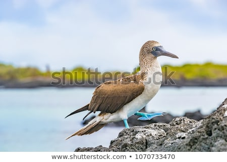 Galapagos animals: Blue-footed Booby - Iconic famous galapagos wildlife Stock photo © Maridav