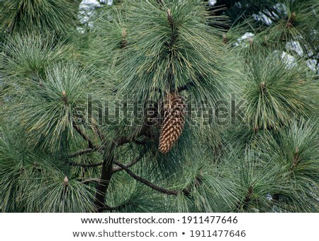 Giant Coulter pine (Pinus coulteri) cone, close up. Stock photo © snyfer