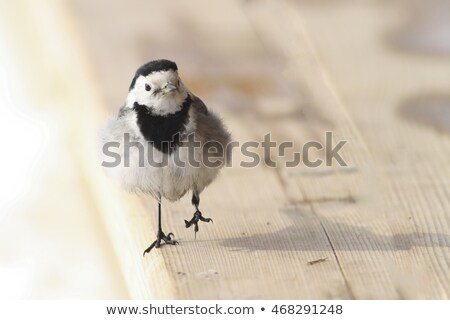 white wagtail on fence Stock photo © ivonnewierink
