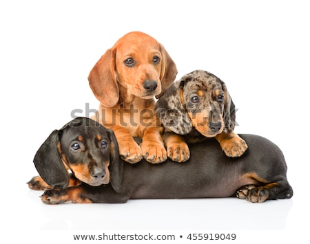 Stock photo: Lovely puppy dachshund lying in a white studio