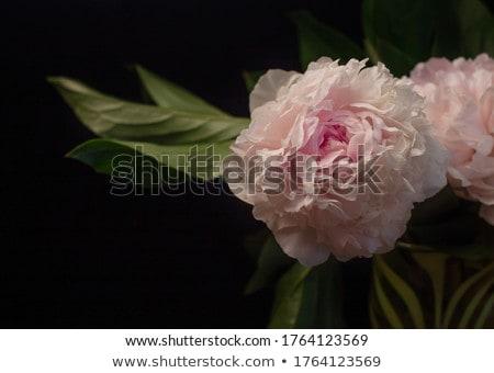 красивой · Розовые · розы · ваза · изолированный · белый · природы - Сток-фото © 5xinc