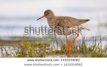 Common Redshank Stock photo © ivonnewierink