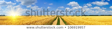 Panoramic view of a rye field view with blue sky and clouds Stock photo © bestmoose