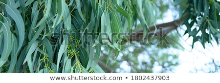 Eucalypt tree in the nature Stock photo © sweetcrisis