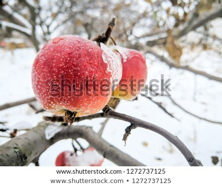 frozen apples Stock photo © Sarkao
