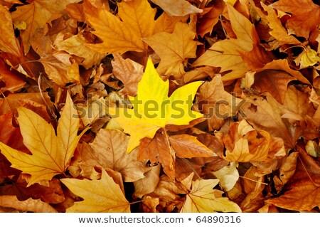 ramo · carvalho · vermelho · folhas · laranja - foto stock © meinzahn