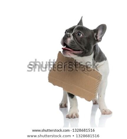 Francia bulldog karton tábla nyak hajléktalan Stock fotó © feedough