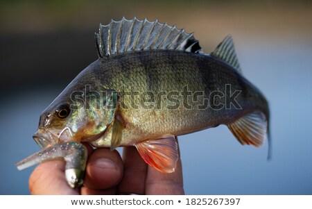 European perch swimming Stock photo © Mps197