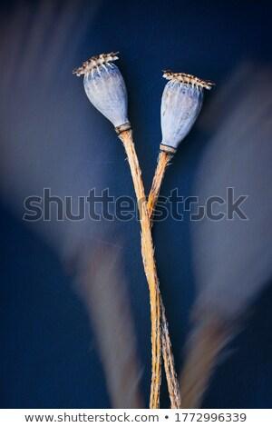 Papoula secar naturalismo isolado branco flor Foto stock © jonnysek