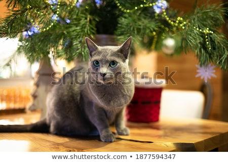 ストックフォト: ロシア · 青 · 猫 · スタジオ · 肖像 · 動物