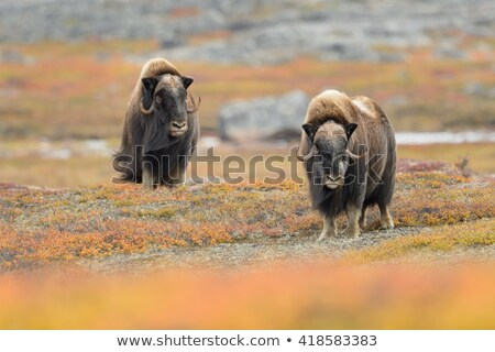 Muskox Duo Stock photo © michelloiselle