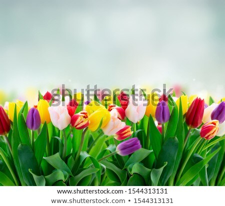 red tulip flowers on table over summer garden Stock photo © dolgachov