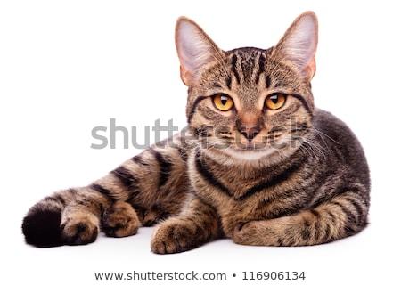 Belo gato cara relaxar branco animal Foto stock © rozbyshaka