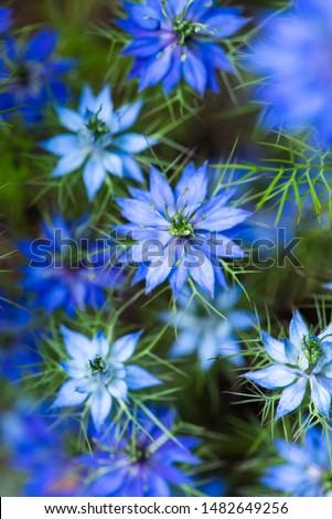 Nigella (Love in a Mist) flower  Stock photo © sarahdoow