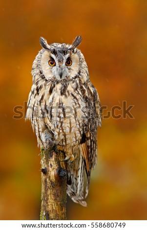 coruja · jovem · retrato · olho - foto stock © chris2766