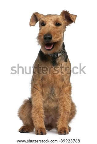 Welsh Terrier dog Stock photo © CaptureLight