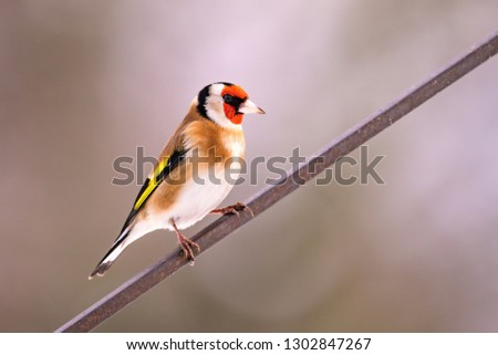 European goldfinch or Carduelis carduelis portrait on branch in  Stock photo © lightpoet