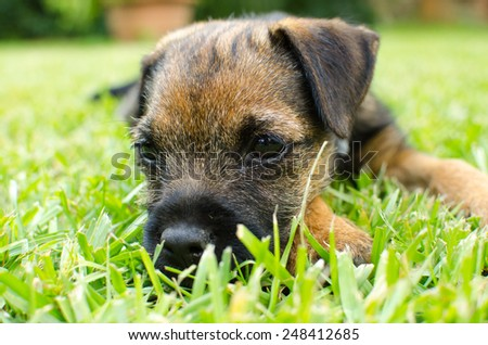 Puppy Border Terrier on a meadow Stock photo © CaptureLight
