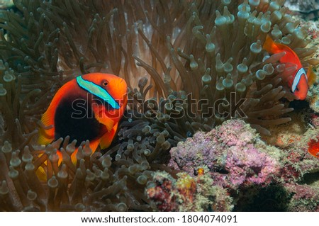 Cinnamon clownfish Stock photo © bluering