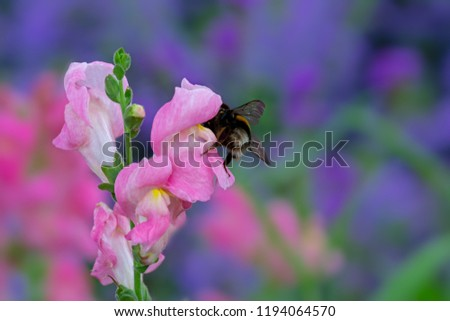 Macro of a bumblebee on a pink dragonflower Stock photo © manfredxy