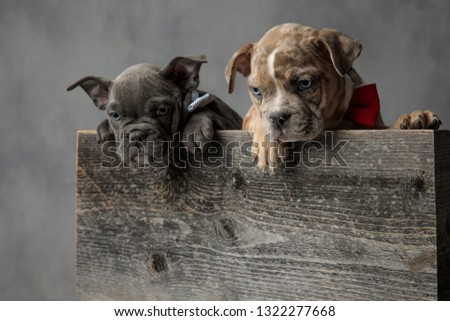 adorable couple of american bully puppies in a wooden box Stock photo © feedough