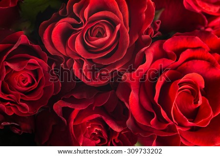 Pink and red roses Stock photo © yul30
