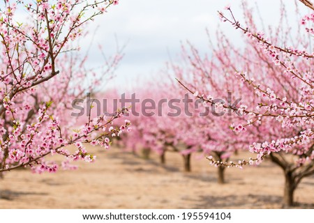 Amandel boom roze bloemen geïsoleerd witte Stockfoto © vapi