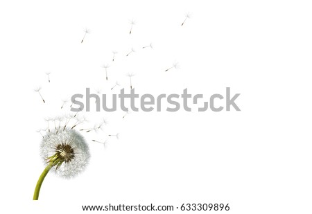 Dandelions on white Stock photo © neirfy