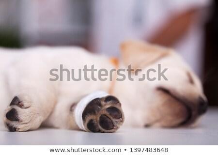 Young puppy dog having an injured leg with bandage sleeping Stock photo © ilona75