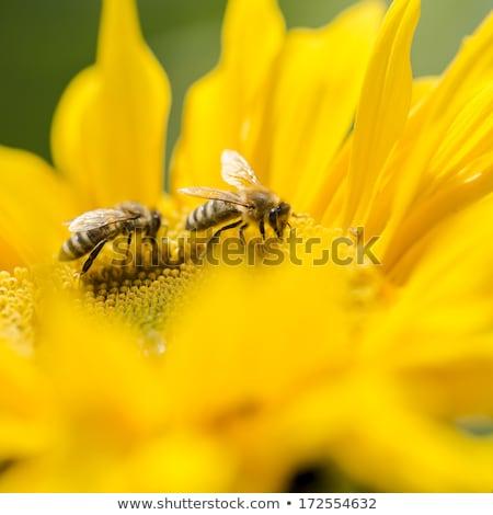 honing · bijen · zonnebloem · bloem · natuurlijke - stockfoto © goce