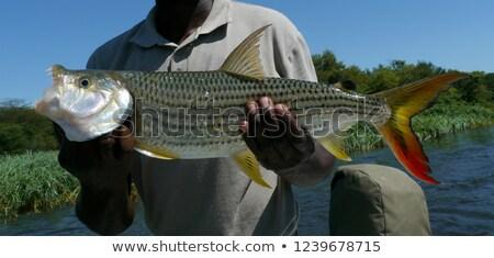 tigris · hal · halász · afrikai · fogak · piros - stock fotó © poco_bw