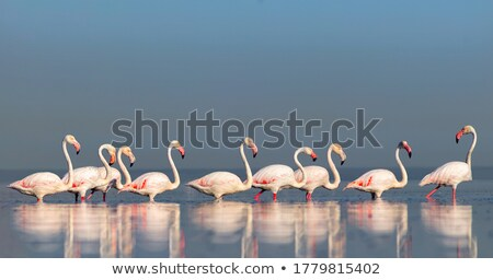 african flamingos stock photo © anna_om