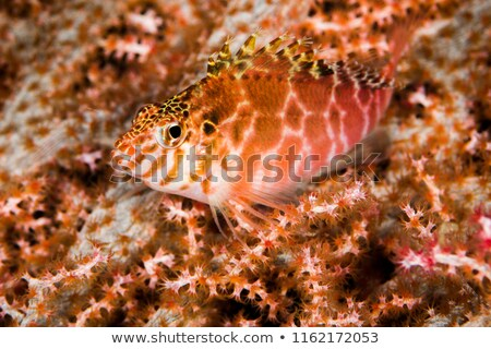 Coral Hawkfish Stock photo © Laracca