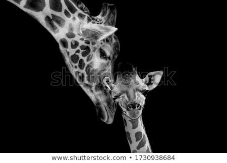 Portre zürafa yalıtılmış beyaz doku arka plan Stok fotoğraf © Anna_Om