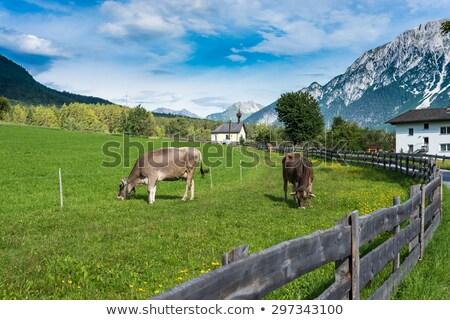 alp cow 15 Stock photo © LianeM