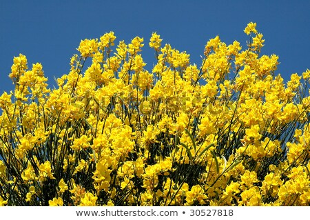 yellow spanish broom on blue sky stock photo © smithore
