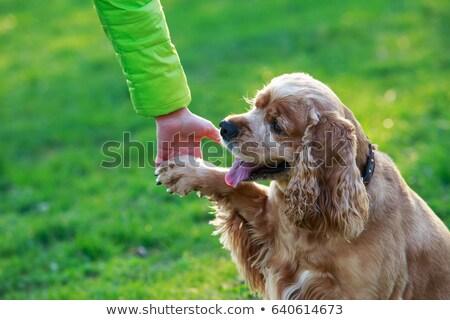 Pampered Cocker Spaniel Dog Stock photo © pixelmemoirs