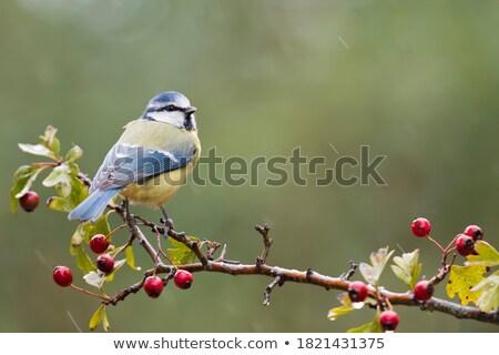 Blue Tit in Hawthorn Stock photo © suerob