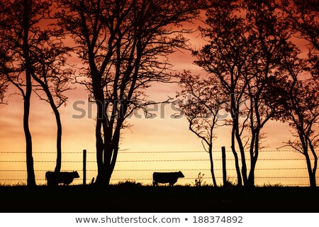Australian rural scene beef cattle Stock photo © sherjaca