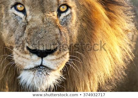 Afrika aslan portre erkek Stok fotoğraf © mscottparkin