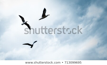 Seagull hover in blue sky with clouds Stock photo © BSANI