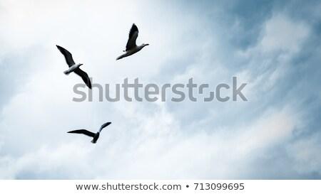 gaivota · pássaro · voador · blue · sky · ver · céu - foto stock © bsani
