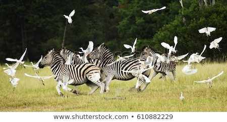 Zebra (Equus burchellii) Stock photo © ajlber