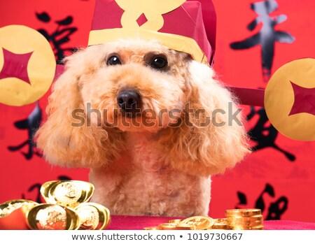 Happy Spring Festival poodle dog Stock photo © raywoo